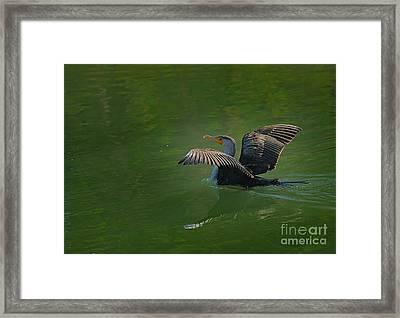 Strutting Cormorant Framed Print