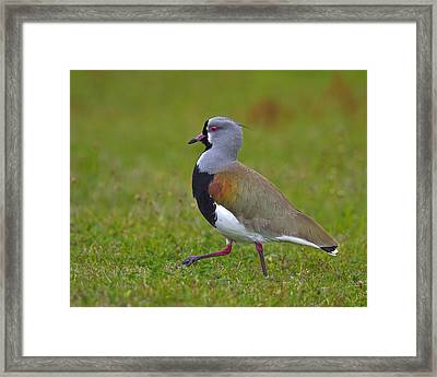 Strutting Lapwing Framed Print