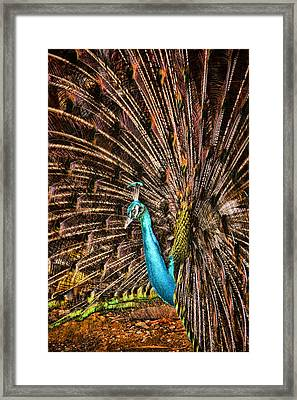 Strutting Peacock Framed Print by David Smith