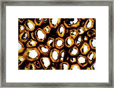 Strychnine Tree Nut Framed Print