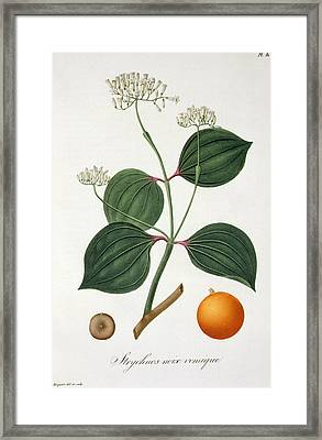 Strychnos Nux Vomica From 'phytographie Medicale' By Joseph Roques  Framed Print by L F J Hoquart