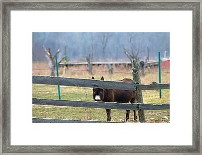 Stubborn As A Mule Framed Print by Rhonda Humphreys