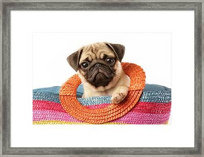 Stuck Pug Framed Print by Greg Cuddiford