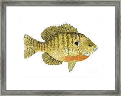 Framed Print featuring the painting Study Of A Bluegill Sunfish by Thom Glace