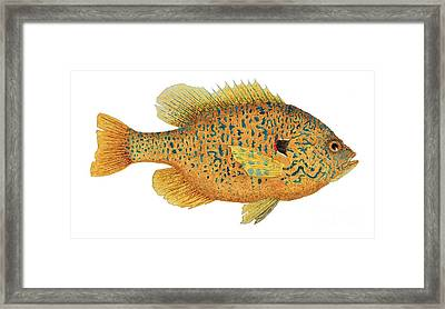 Framed Print featuring the painting Study Of A Male Pumpkinseed Sunfish In Spawning Brilliance by Thom Glace