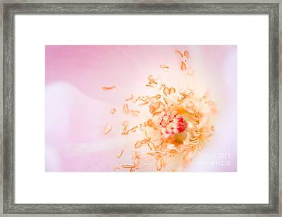 Study Of A Rose One Framed Print by Lisa McStamp