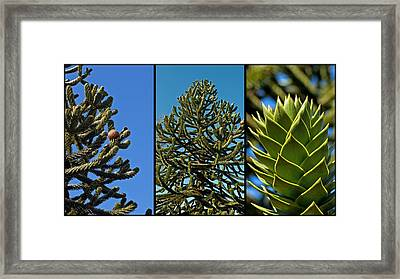 Study Of The Monkey Puzzle Tree Framed Print