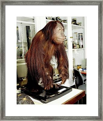 Stuffed Orangutan Framed Print