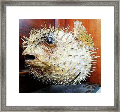 Stuffed Porcupinefish Framed Print