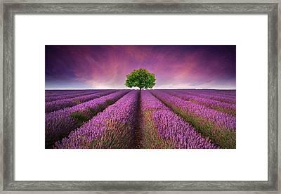 Stunning Lavender Field Landscape Summer Sunset With Single Tree Framed Print