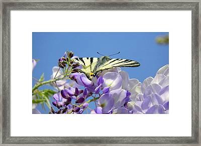 Stupena Farfalina Framed Print by Halina Nechyporuk