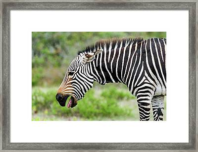 Submissive Cape Mountain Zebra Framed Print by Peter Chadwick