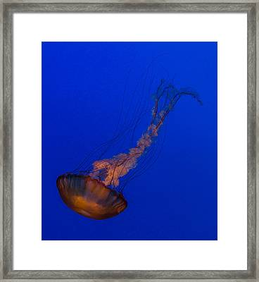Subtle Pacific Sea Nettle Framed Print by Scott Campbell
