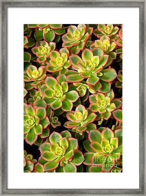 Succulent Glow Framed Print by Suzanne Oesterling