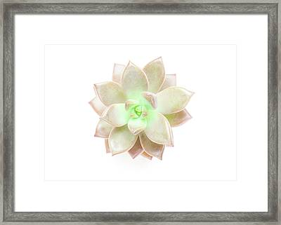 Succulent Plant On White Framed Print by Chris Parsons