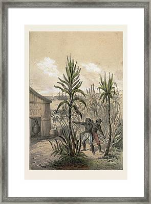 Sugar Can Farming, Sugarcane Plantation, Poaceae, Seed Framed Print