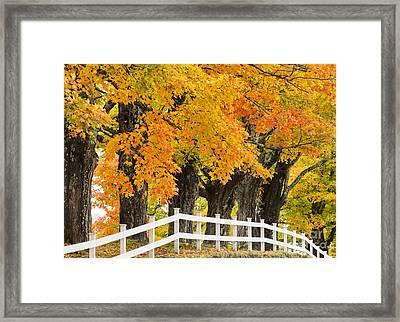 Sugar Maple Color Framed Print