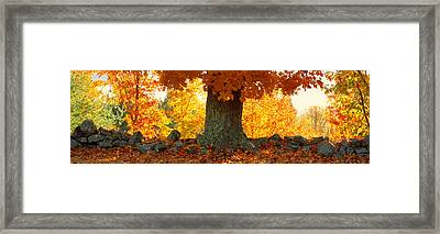 Sugar Maple Tree In Autumn, Peacham Framed Print