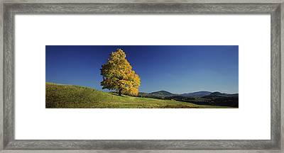 Sugar Maple Tree On A Hill, Peacham Framed Print