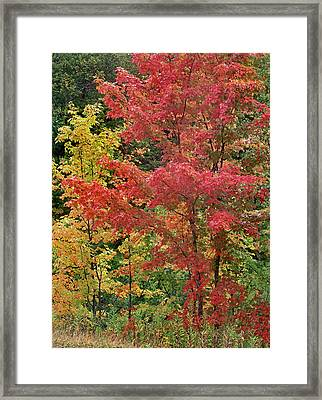 Sugar Maples, Porcupine Mountains Framed Print