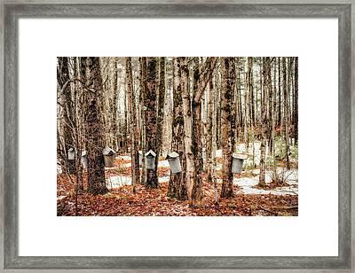 Sugar Maples Framed Print by Robert Clifford