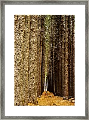 Sugar Pine Walk Framed Print