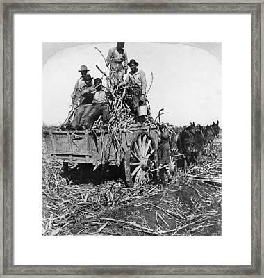Sugar Plantation, 1901 Framed Print by Granger