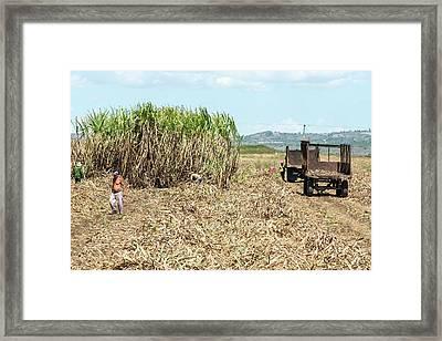 Sugar Plantation Workers Framed Print