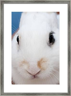 sugar the easter bunny 1 -A curious and cute white rabbit close up Framed Print