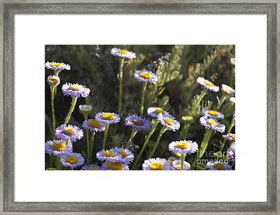 Suisun Marsh Aster In The Morning Light Framed Print by Artist and Photographer Laura Wrede
