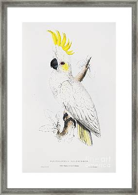 Sulfur -crested Cockatoo Framed Print by Pg Reproductions