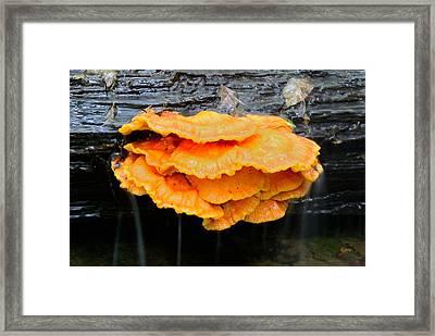 Sulfur Shelf Mushroom Framed Print