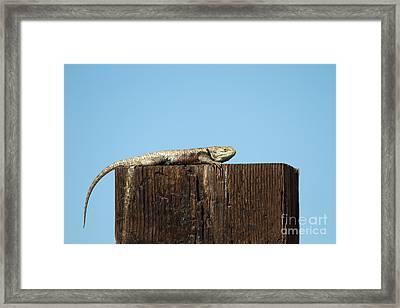 Sulky Lizard Framed Print