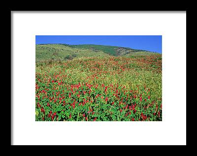 Sainfoin Framed Prints