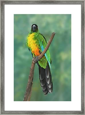 Sulphur-breasted Musk Parrot (prosopeia Framed Print