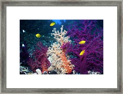 Sulphur Damsels On A Reef Framed Print