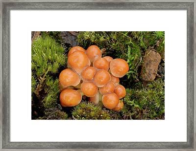 Sulphur Tuft (hypholoma Fasciculare) Framed Print by Nigel Downer