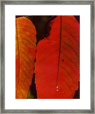 Sumac Leaves.jpg Framed Print