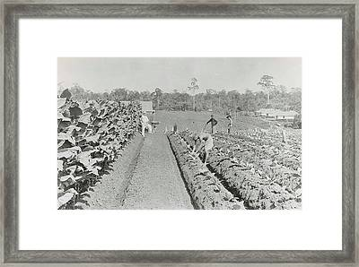 Sumatra Indonesia, Men Engaged In Tobacco Field In Various Framed Print