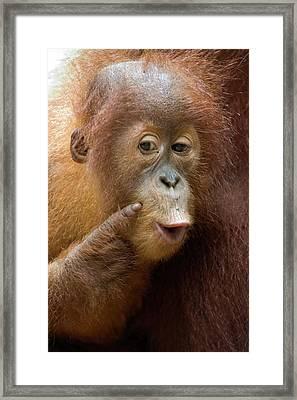 Sumatran Orangutan Baby Calling Framed Print by Suzi Eszterhas
