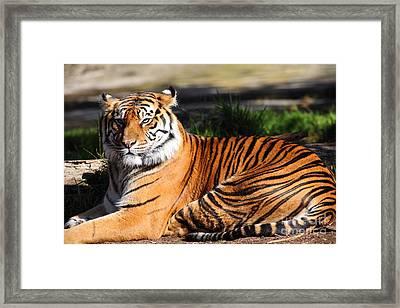 Sumatran Tiger 5d27142 Framed Print by Wingsdomain Art and Photography