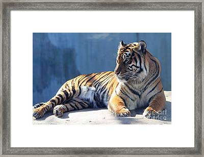 Sumatran Tiger 7d27276 Framed Print by Wingsdomain Art and Photography