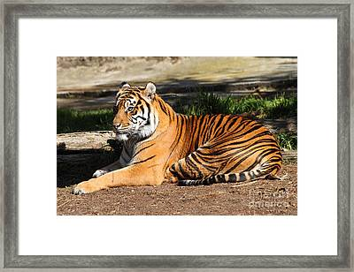Sumatran Tiger 7d27310 Framed Print