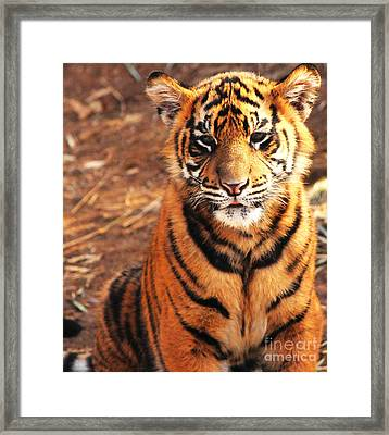 Framed Print featuring the photograph Sumatran Tiger Cub by Olivia Hardwicke