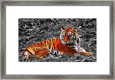 Sumatran Tiger Framed Print by Davandra Cribbie