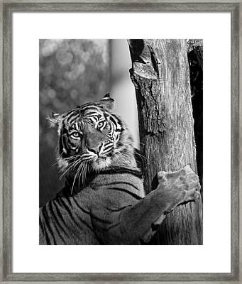 Sumatran Tiger Framed Print by Gary Neiss
