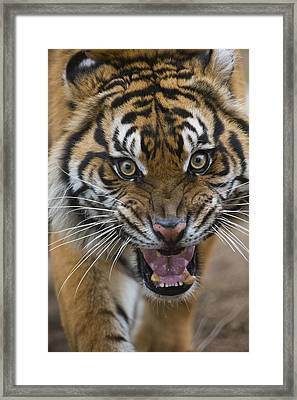 Sumatran Tiger Male Snarling Native Framed Print by San Diego Zoo