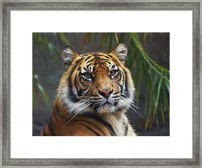 Sumatran Tiger Framed Print by Martin Willis