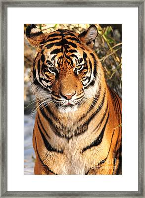 Framed Print featuring the photograph Sumatran Tiger by Olivia Hardwicke