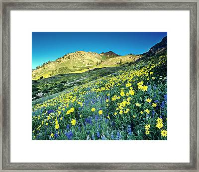 Summer Blue Lupine And Yellow Viguiera Framed Print